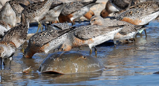 640px-Red_knot_horseshoe_crab_feeding