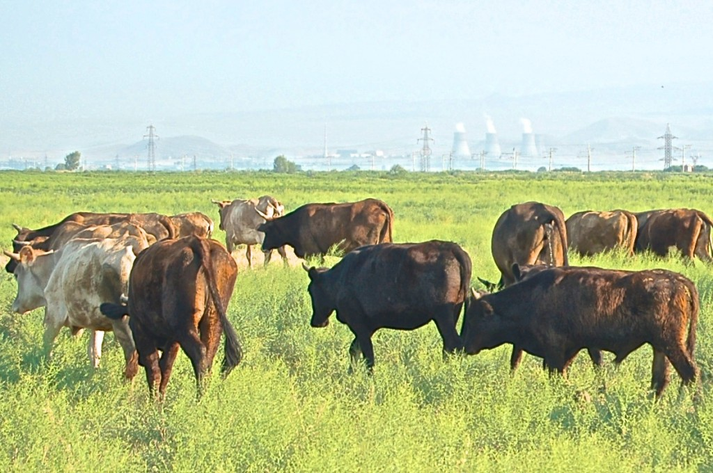 Cattle grazing near Medzamor Nuclear Power Plant, Armenia, innocent of their surroundings